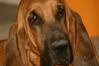 Meet Duke, my 4 year old red blood hound