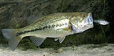 bassfish.jpg